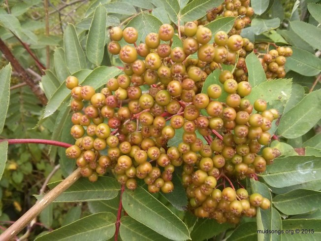 Dogberries (not quite ripe yet) in St. John's, Newfoundland (August 31, 2015.)
