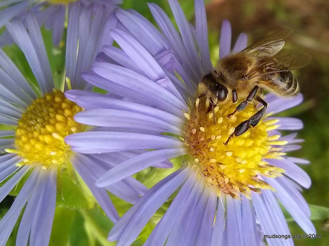 Honey bee on some blue flower in Flatrock, Newfoundland (Aug. 24, 2015.)