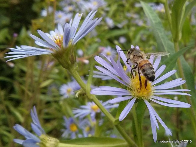 Honey bee on blue flower in Flatrock, NL. (Aug. 24, 2015.)