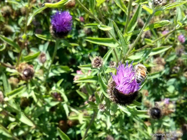 Honey bee on Thistle in Flatrock, Newfoundland. (August 17, 2015.)