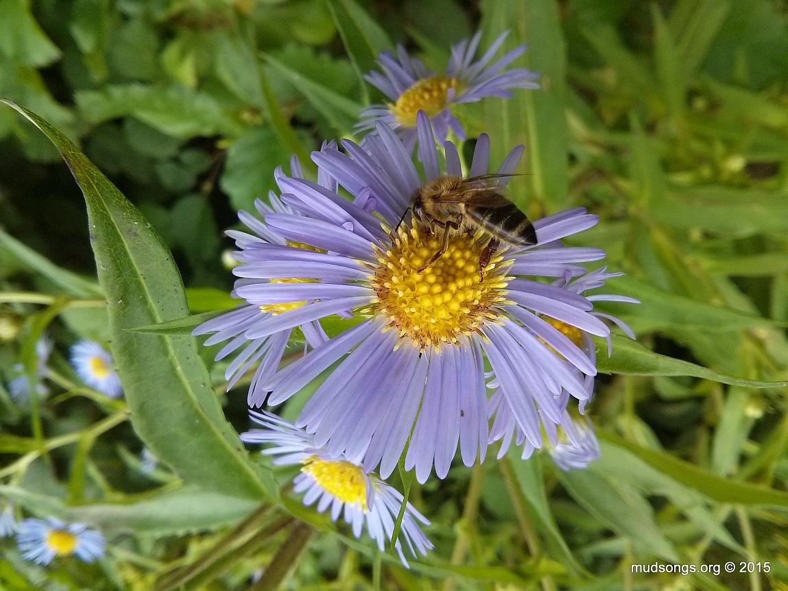 Honey bee friendly flower asters or daisies mudngs honey bee on blue flower in flatrock nl aug 24 2015 izmirmasajfo