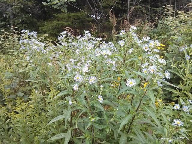 Blue flowers growing in the  beeyard of The Mud Songs Beekeeping Corporation Headquarters.