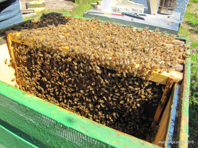 Still plenty of brood left behind in the lower hive body. (August 2, 2015.)