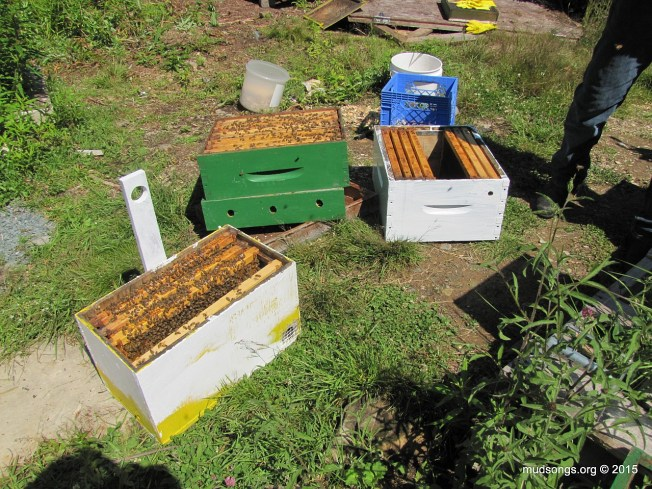 From left to right: Three pulled frames (2 of brood) in a swarm trap; medium honey super with bees sitting on top of an empty moisture quilt; new deep with drawn comb and space for brood in the middle. (August 2, 2015.)