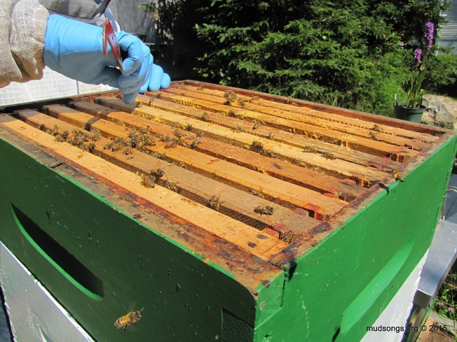 Spacing out the 9 frames (after removing one) so the bees  will (hopefully, eventually) make thicker comb. (August 2, 2015.)