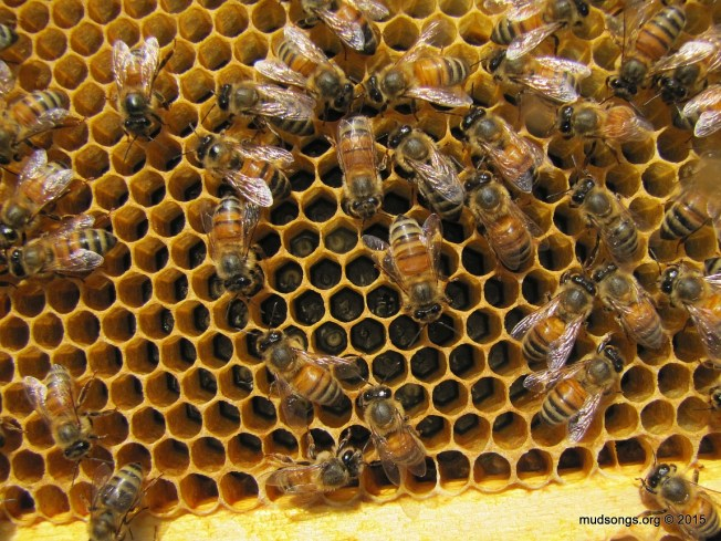 Fresh brood in the upper deep (or hive body). The queen expanding the brood nest up without any help from humans. (August 10, 2015.)