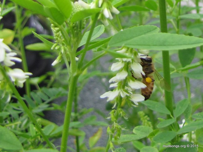 Honey bee on White Sweet Clover in Flatrock, Newfoundland (August 14, 2015.)