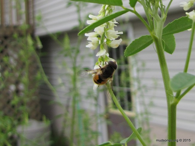 Bee-like fly on Sweet White Clover. (August 14, 2015.)