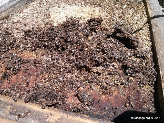 Thick carpet of dead bees. (June 2014.)