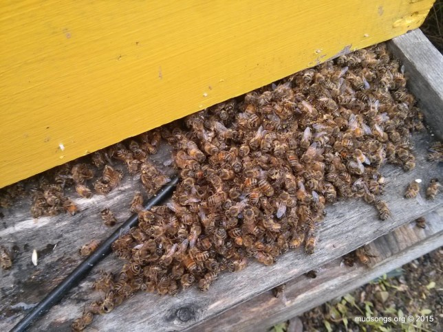 The first scraping of dead bees from the bottom of the hive. (Dec. 12, 2015.)