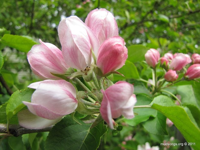 Crab apple blossoms in St. John's, Newfoundland. (June 19, 2011).