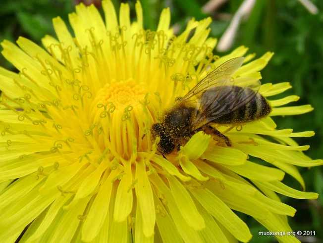 Honey bee on dandelion (May 26, 2011).