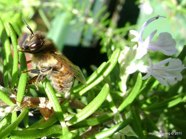 Honey bee on rosemary (May 23, 2011).