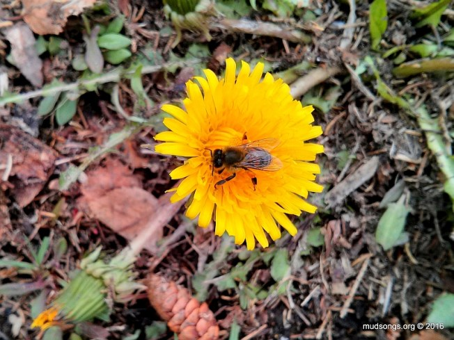 First honey bee on a dandelion I've seen this year. (May 14, 2016, Flatrock, NL.)