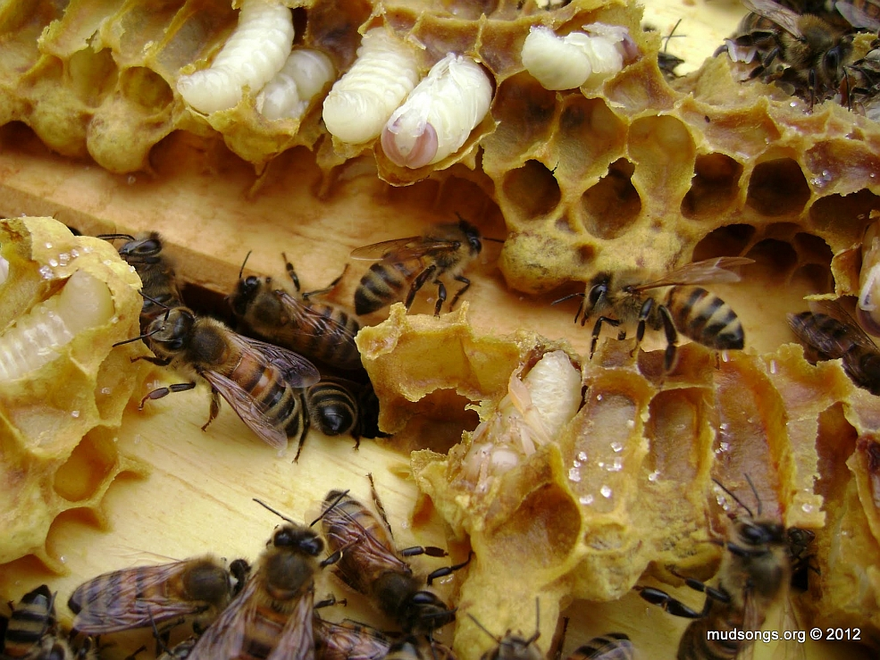 honey bees queen drone and worker with Drone Brood on 2 as well How Do You Tell Boy Bee From Girl Bee as well Honeybee Photos besides Honey Bee Life Cycle further Ch 2 The Honey Bees World.
