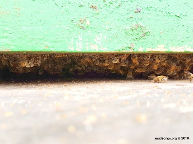 Nurse bees hanging off frame of brood in the bottom of the hive.