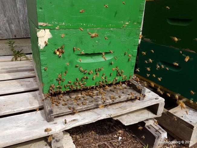 A borderline swarmy colony? (Sept. 07, 2016.)