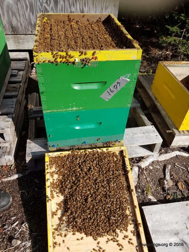 That seems like one seriously massive cluster of bees for this last in the year. (Oct. 13, 2016.)