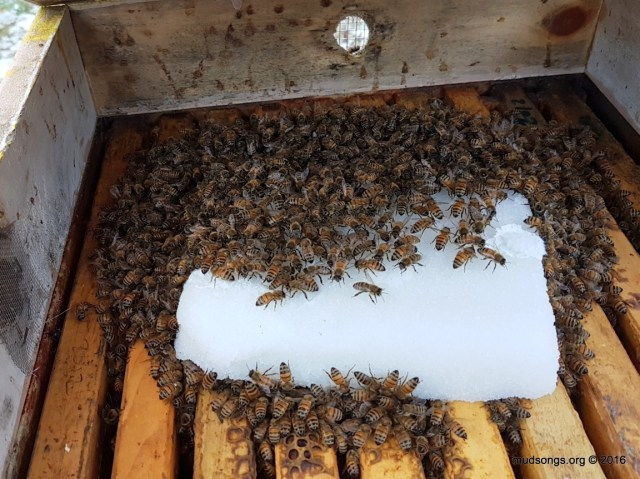 Bees crawling all over a sugar brick within less than a day. Are they eating it or discarding it? (Dec. 01, 2016.)