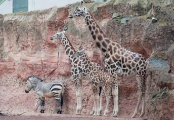 Giraffen - Zebra
