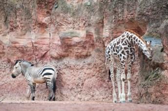 Zebra und Griaffe