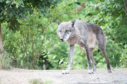 im Wolfsgehege
