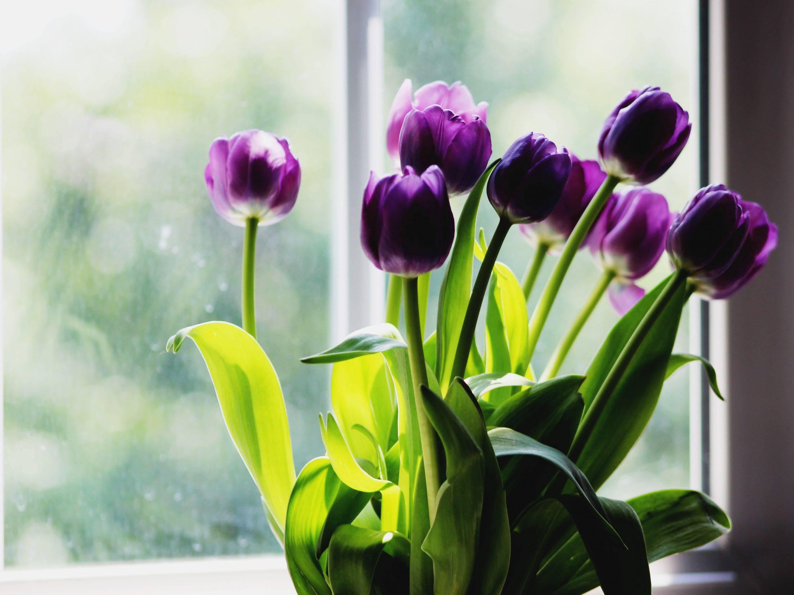 Violetten Tulpen in eine Vase auf der Fensterbank