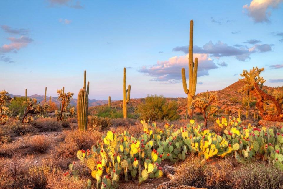 desert-cactus