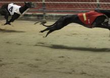 Greyhound Racing in Macau at the Macau (Yat Yuen) Canidrome Co. Ltd. 28MAY11 (For Post Magazine 05/06/2011)