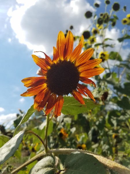 The row of sunflowers at the edge of the farm bring a burst of color and beauty, as well as crucial pollinators.
