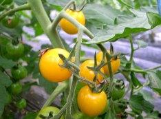 イエローミミ:鮮やかな黄色いミニトマト。