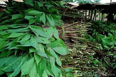 cassava-leaves