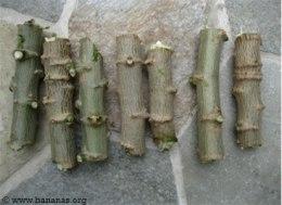 cassava-stem