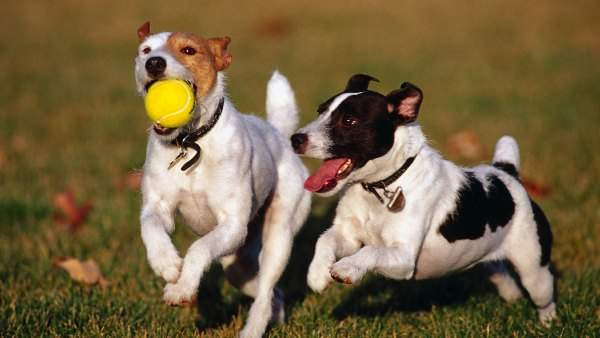 muhimu-dogs-playing-with-a-yellow-ball-hd-animal-wallpaper-dogs