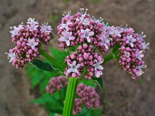 Valeriana_officinalis_MEDIFINAL