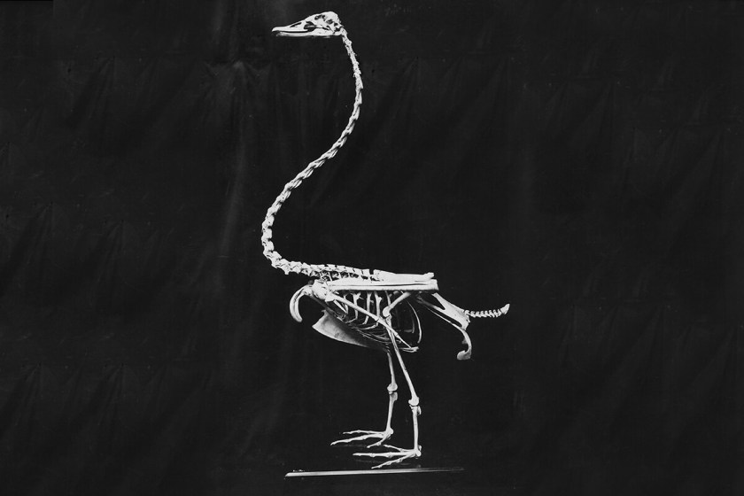 cisne-negro-gigante.jpg