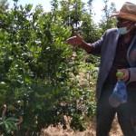 Producao de citrinos na fazenda jb eyavala, Huila - Angop