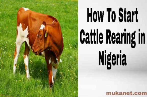 Cattle Rearing business in Nigeria
