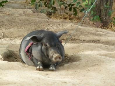 Laos, Don Det, cochon domestique