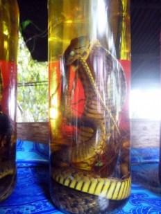 Laos, Luang Prabang, liqueur de serpent
