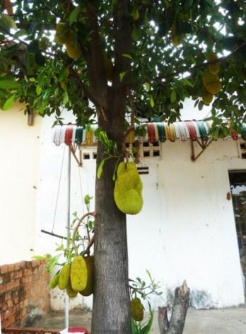 le jacquier et son fruit
