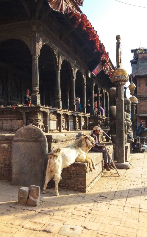 Rue de Bhaktapur au Népal avec son bouc rescapé du sacrifice annuel