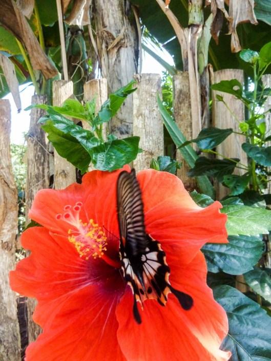 Magnifique papillon sur le chemin menant à la gare routière de Nong Khiaw au Laos