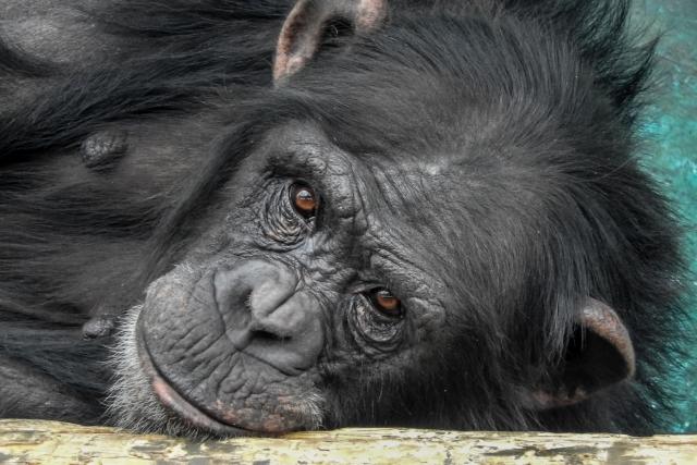 第三のチンパンジー