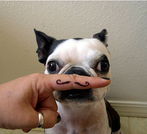 boston terrier finger moustach