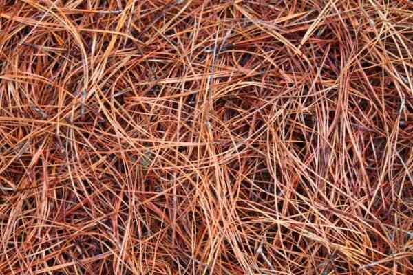 Long Needle Pine Straw Photo