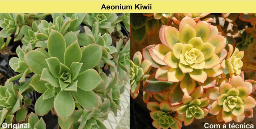 aeonium-kiwii