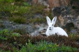 الأرنب الأبيض في المنام للعزباء