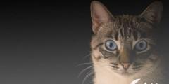 هل ينمو شعر القطط بعد قصه