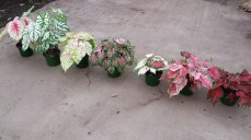 From Left to Right, White Queen, Candidium Jr., Miss Muffet, Pink Beauty, White Wing, Florida Sweetheart, Florida Red Ruffles